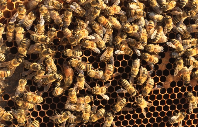 Suchbild-Bienenkönigin